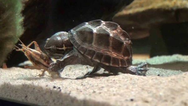 Живой корм для водных черепах