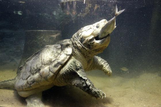 Каймановая черепаха споймала рыбу