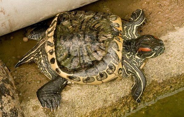 Деформация панциря у черепахи