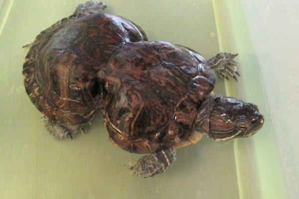 Размягчение и деформация панциря у красноухой черепахи