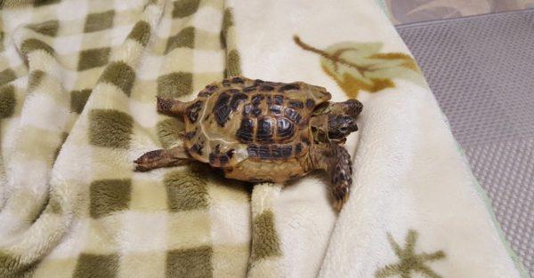 При рахите наблюдается отказ задних конечностей у черепахи
