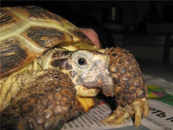 Деформацией верхней челюсти у черепахи, которая становится похожа на клюв при рахите
