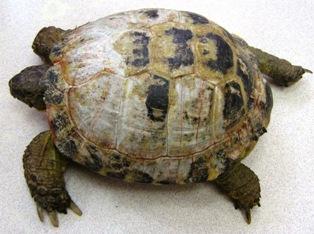 При рахите панцирь сухопутной черепахи может белеть