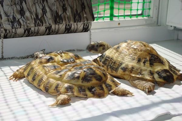 Панцирь при рахите у сухопутной черепахи принимает седловидную или куполообразную форму