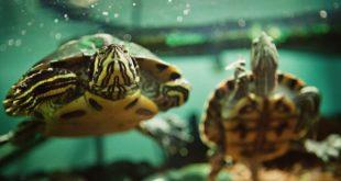 Две красноухие черепашки в аквариуме