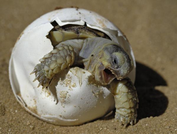 Рождение черепахи - вылупление