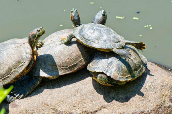 Красноухие черепахи греются на солнышке