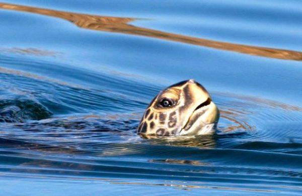 Морская черепаха поднимается к поверхности чтобы сделать вдох