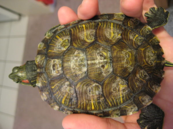 Образование на панцире черепахи белого налета, точек и пятен при грибке