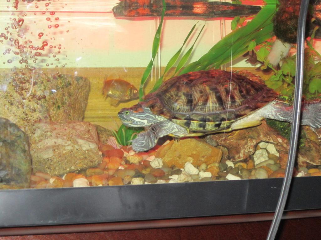 Охота черепахи на рыбу
