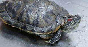 Микоз (грибок) у черепахи