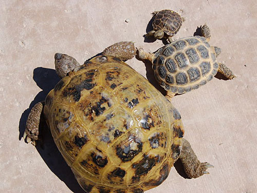 Среднеазиатские черепахи разного возраста
