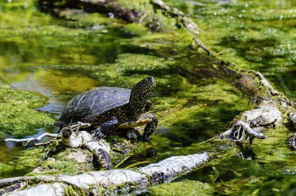 Европейская болотная черепаха греется на солнце