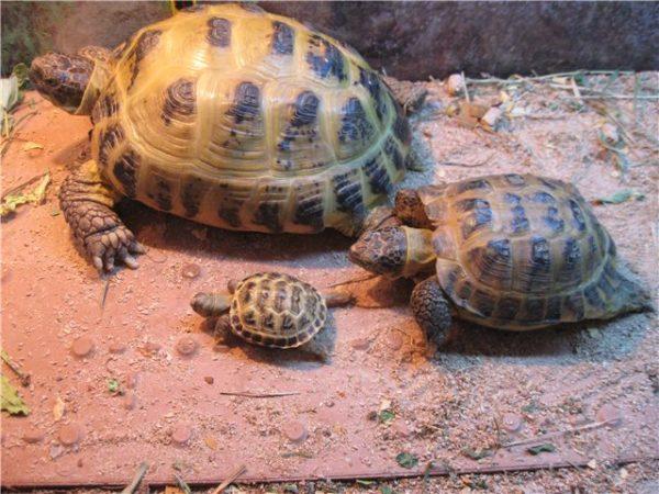 Среднеазиатская черепаха от маленькой до большой