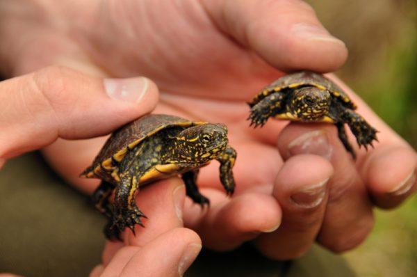 Маленькие черепашки европейской болотной черепахи