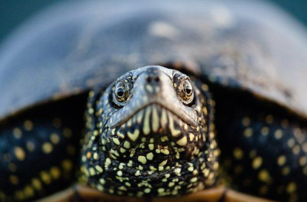 Морда болотной черепахи