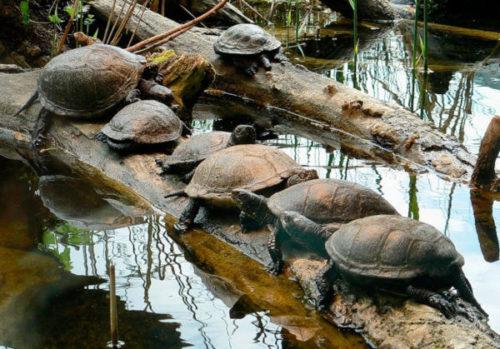 Болотные черепахи греются на солнце