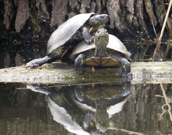 Самка и самец болотной черепахи