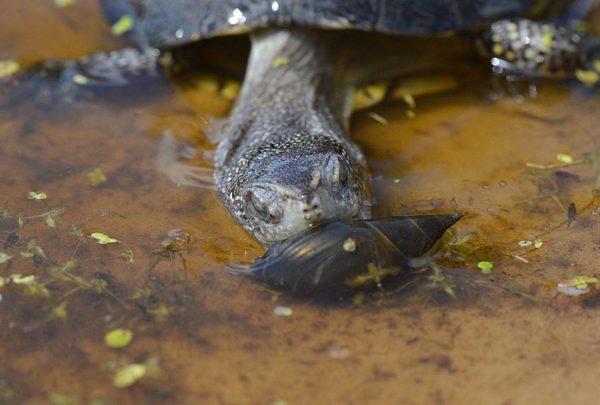 Болотная черепаха ест улитку