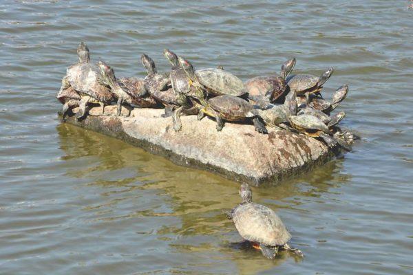 Красноухие черепахи греются на солнце
