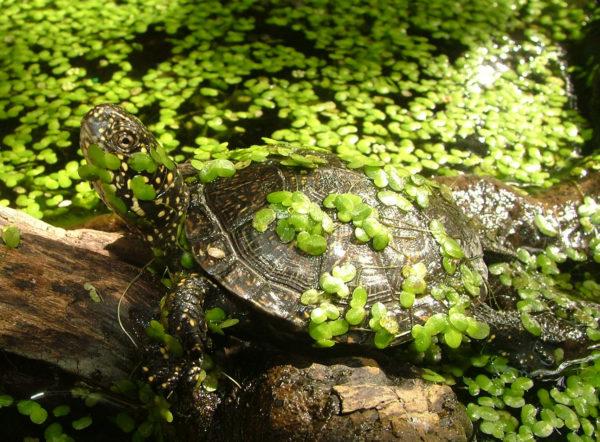 Болотная черепаха в ряске