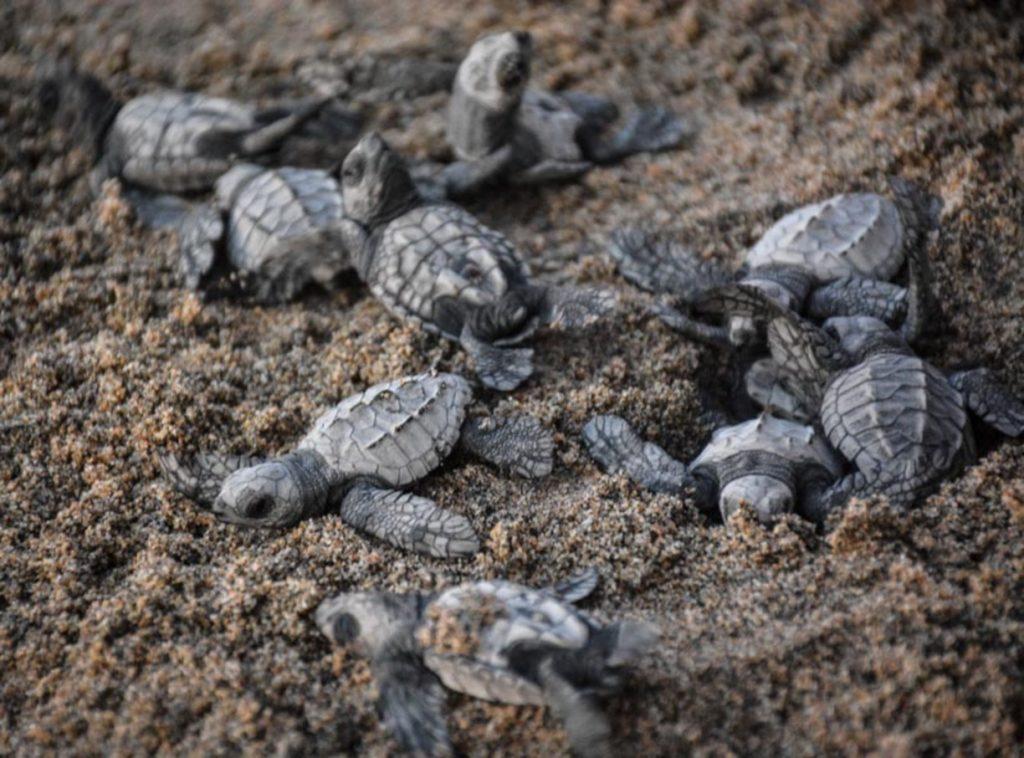 Черепашата кожистой черепахи