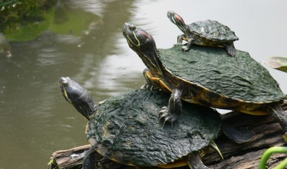 Семейство красноухих черепах