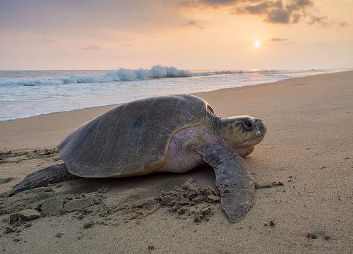 Кожистая черепаха Лут