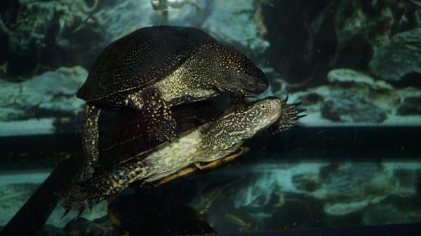 Болотные черепахи плавают в аквариуме