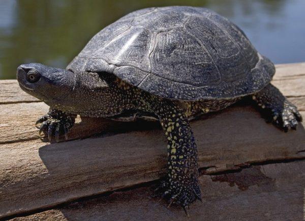 Пресноводная болотная черепаха