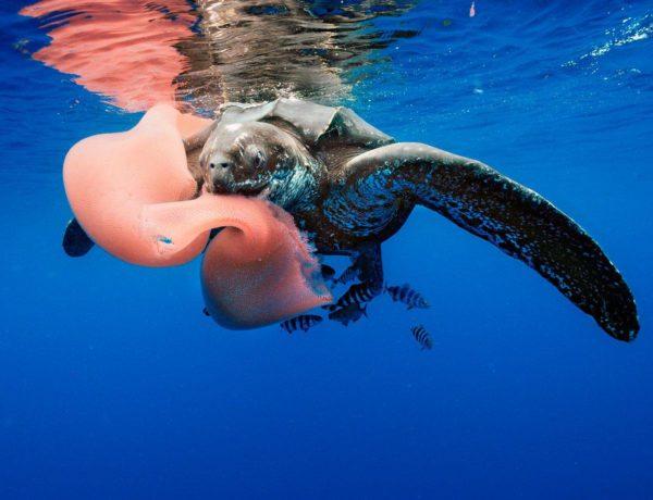 Кожистая черепаха лут ест медузу