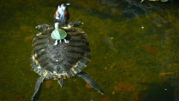 Красноухие черепахи разного размера