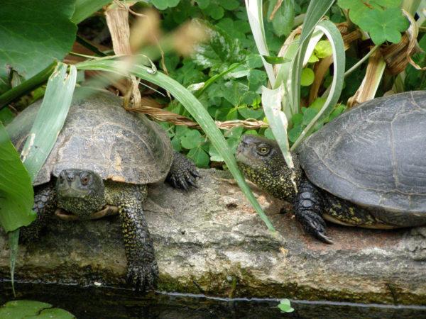 Болотные черепахи греются на суше