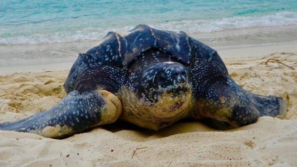Самая большая кожистая черепаха Лут