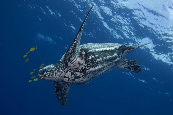 Самая большая кожистая черепаха