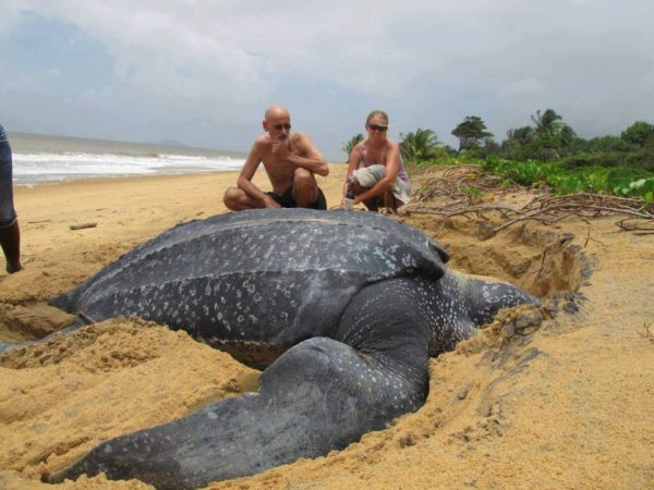 Кожистая морская черепаха