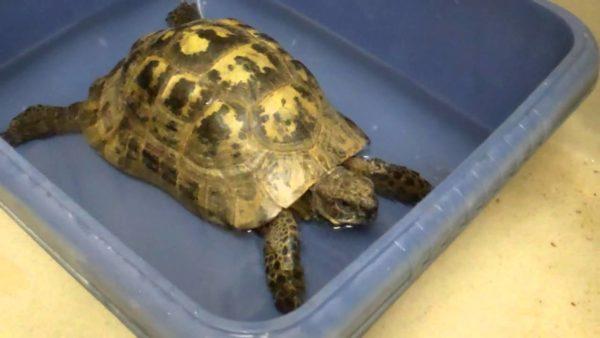 Купание сухопутной черепахи