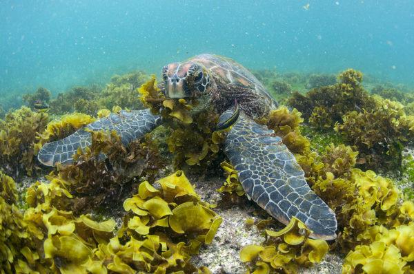 Зеленая черепаха ест водоросли