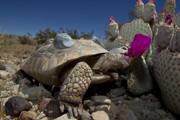 Черепаха ест цветы кактуса