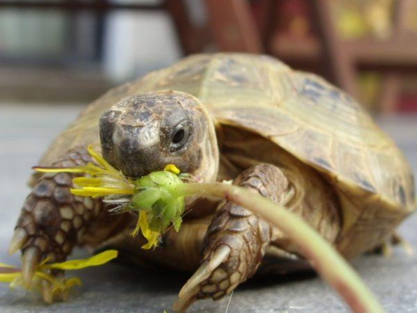 Среднеазиатская черепаха ест одуванчик