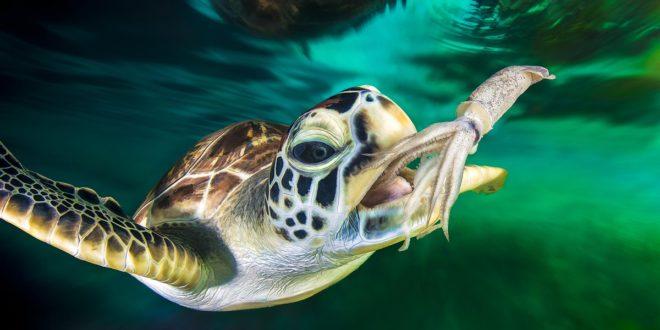 Черепаха хочет съесть кальмара