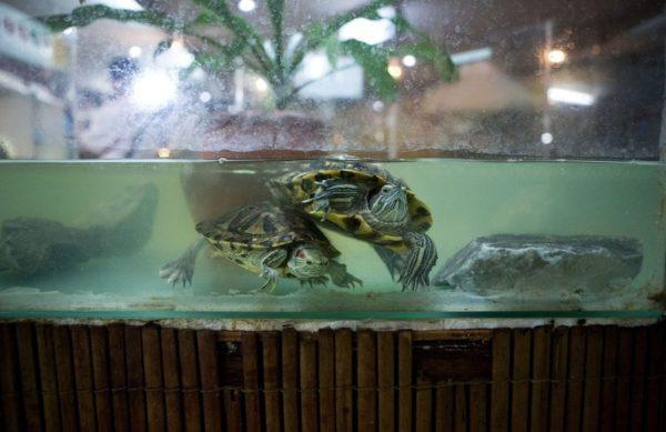 Аквариум с черепахами требует уборки
