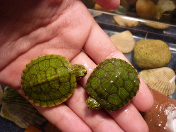 Новорожденные красноухие черепашки