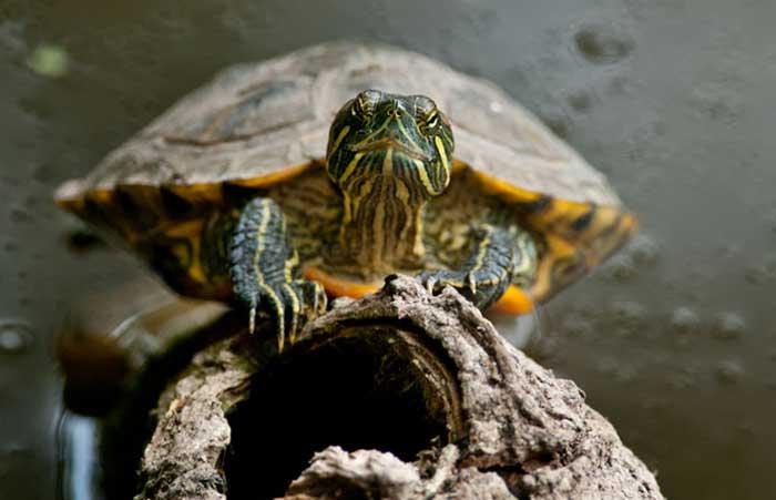 Красноухая черепаха сидит на коряге