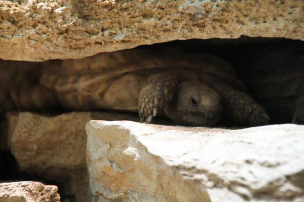 Эластичная черепаха прячется в скалах