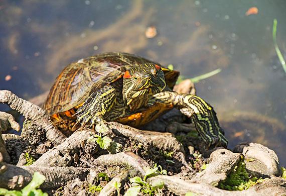 Пресноводная красноухая черепаха