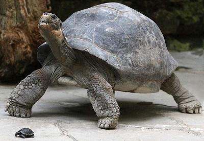 Черепаха Чарльза Дарвина Гариетта