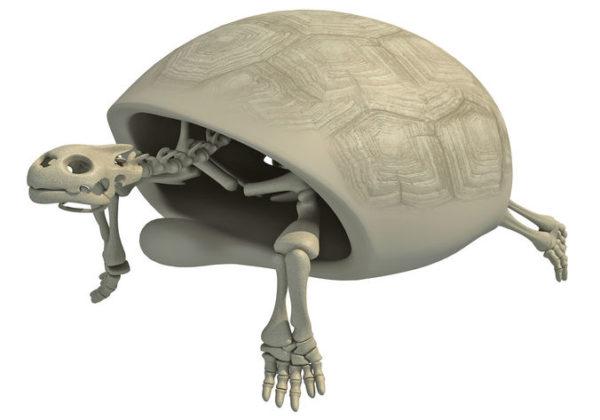 Строение скелета черепахи