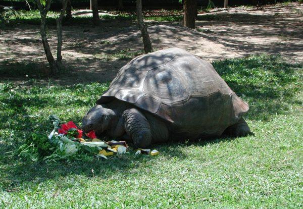 Слоновая черепаха Гариетта