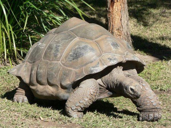 Самая старая черепаха Гариетта
